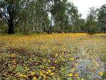 Papaerbark swamp in the early dry season showing water lillies flowering.