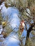 Pink Cockatoo, Palm Valley