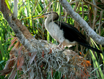 Female Darter on nest, Yellow Waters