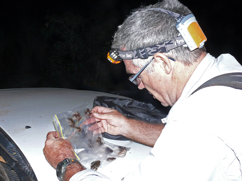 Inspecting native frogs